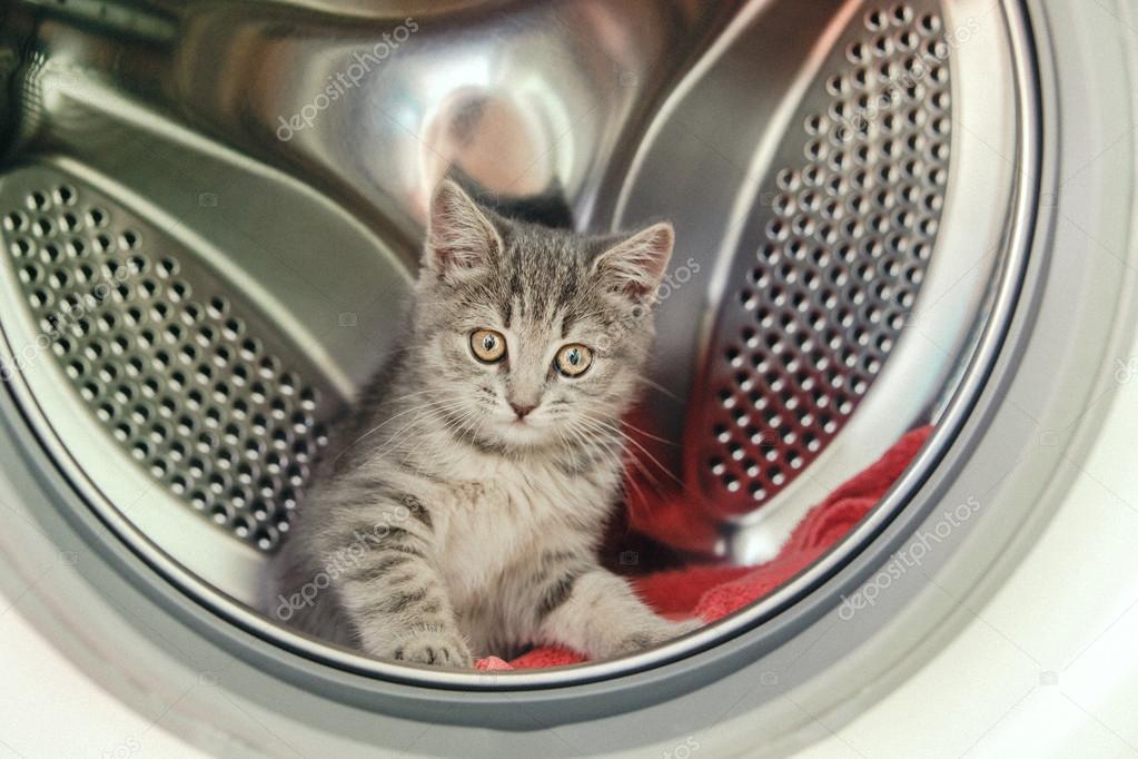 Cute Scottish kitten is sitting in a washing machine