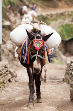 Close-up of an mule caravan, Dudh Kosi valley, Solu Khumbu, Nepal