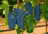 A szőlő szőlő