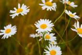 White Daisies on field