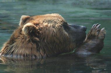 Kodiak bear in Water
