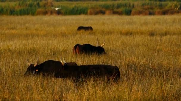 Camargue-Rinder (Bos taurus) auf den feuchten Feldern