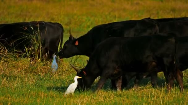 Camargue-Rinder (Bos taurus) auf den Feldern mit Kuhreihern (Bubulcus ibis))