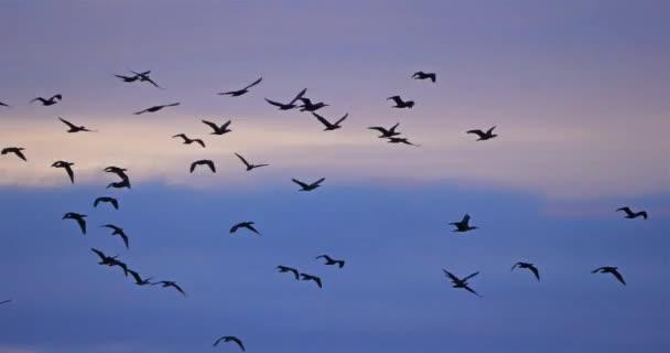 Skupina Cormorants létající nad Camargue ve Francii