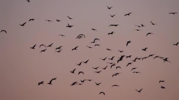 Kormoránok csoportja repül át a Camargue Franciaországban