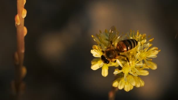 Bee and Sedum acre, commonly known as the goldmoss stonecrop