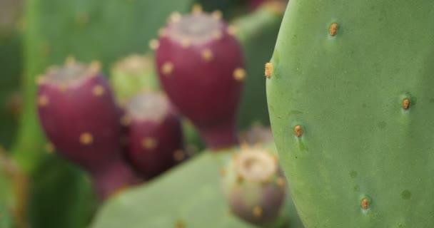 Opuntia ficus-indica - Barbary füge