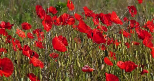 Field of red poppies, occitanie, France