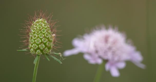 Divoký květ s názvem scabiosa, také známý jako strup.