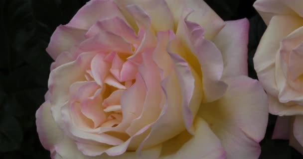 Egy rózsa részlete. Díszvirágok.