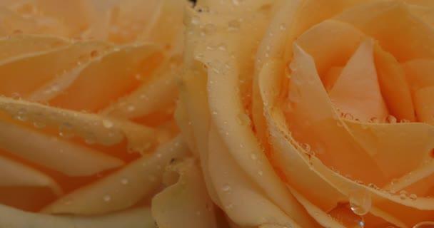 Reggeli harmat a rózsa