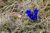 Enzian, eine seltene Pflanze unter Naturschutz, wächst in Bayern am Ammersee