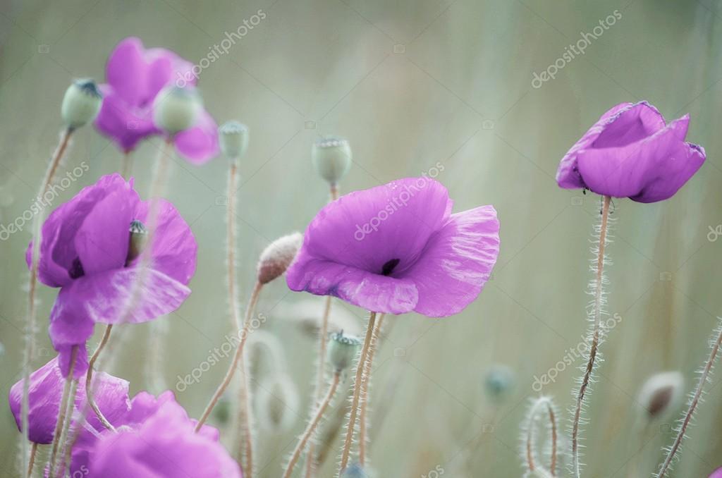 purple poppies stock photo 2923491 clashot 101133998