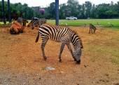 Zebry a velbloudy na pastvině