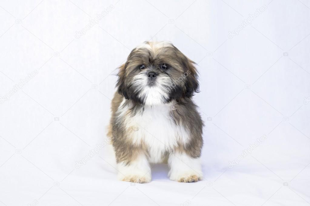Colored Shih Tzu Puppy Face Isolated On White Stock Photo