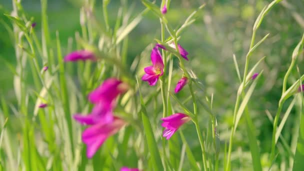 Pink Flower Sophronitella is a sister of the orchid as we know it. It is known as a showy exotic flower. Close Up view of beautiful Pink Flower, Sophronitella in the  garden.