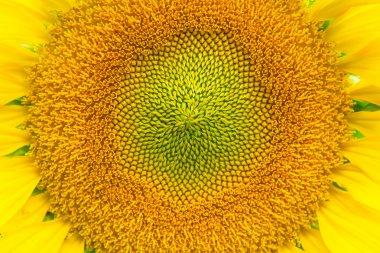 Beautiful pollen of sunflower