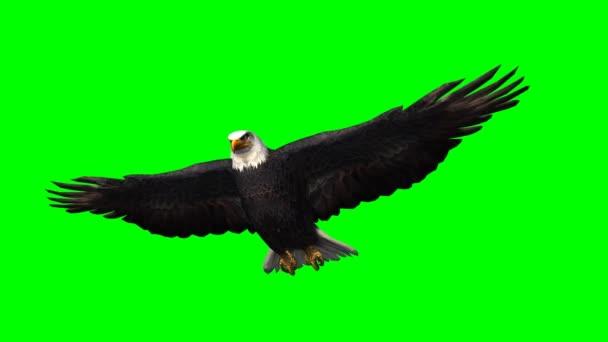 Adler im Gleitflug 1 - grüne Scheibe