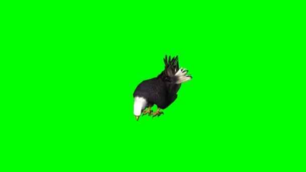 Eagle eats - green screen