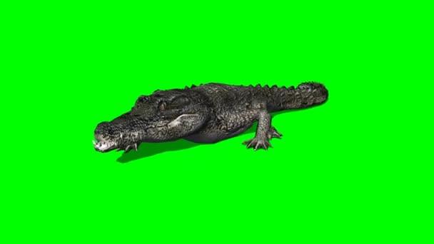 Big Crocodile walking