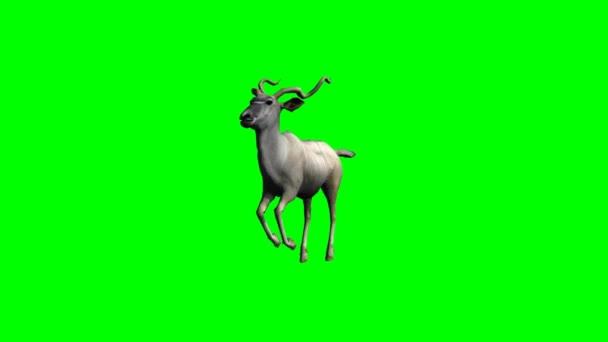 Kudu Antilope laufen