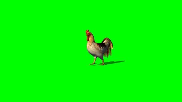Gallo camminando