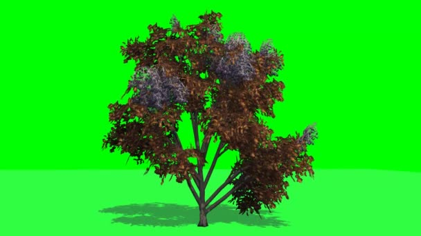 Tree japanese angelica fall with shadow on green screen