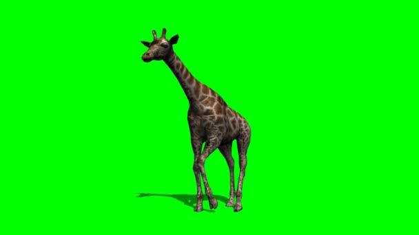 mladé žirafy chůzi