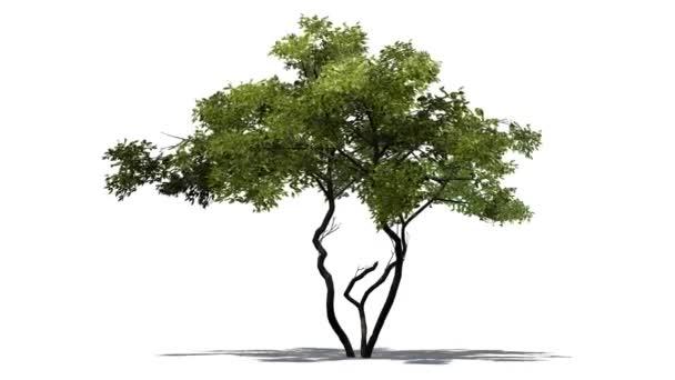 Citromfa erős szélben