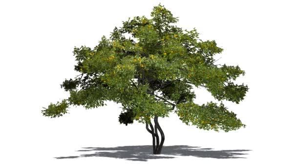 Citron ovoce strom ve větru