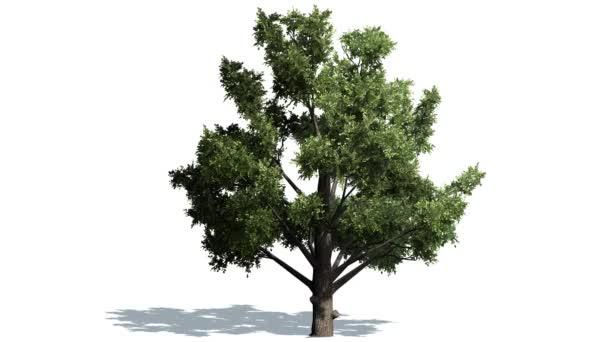 Lombhullató fa, erős szélben