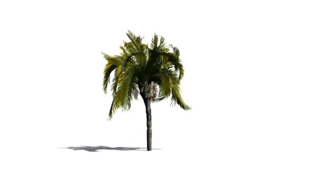 Queen Palm in mean wind