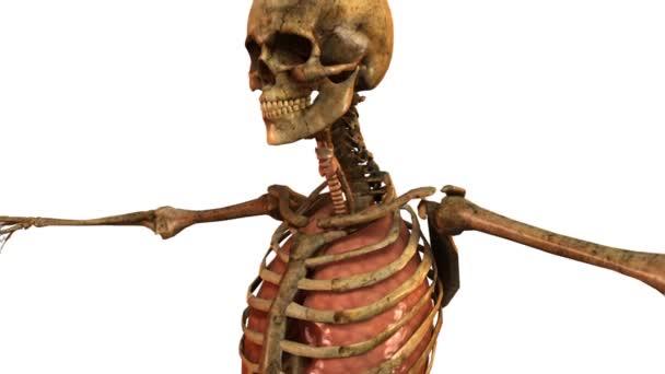 Human skeleton with detailed anatomy organs - tracking shot