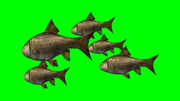 Kapr, ryby, plavat pomalu - zelená obrazovka