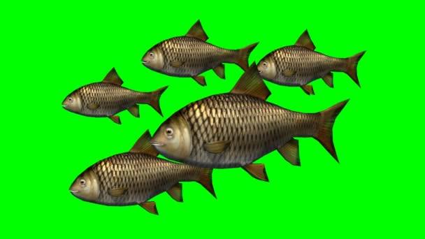 Ponty halak úszni lassú - zöld képernyő