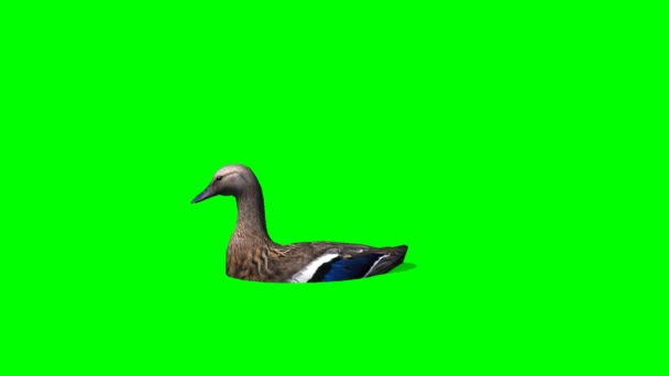 Duck Female swims - green screen