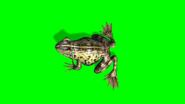 Frog eats - frog catches prey - green screen