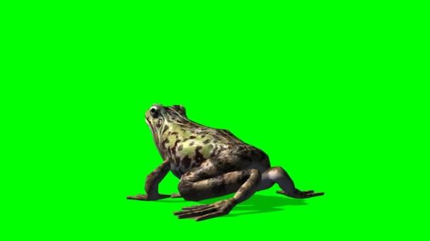 Frosch frisst - Frosch fängt Beute - grüner Bildschirm