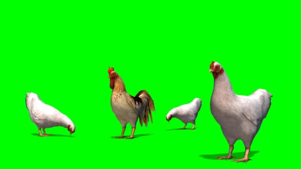 White chicken with rooster -  green screen
