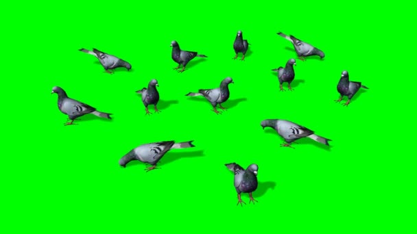 Pigeons in a group on the ground - green screen