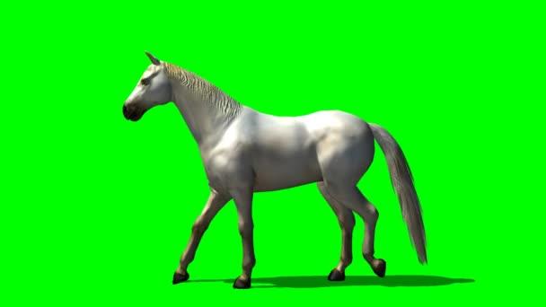 White horse walks - green screen
