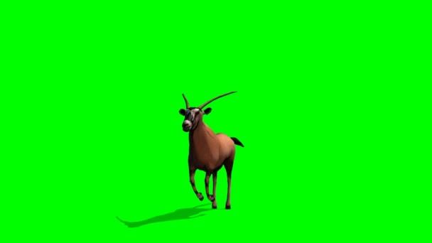 Spießbock Antilope läuft
