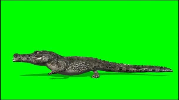 Crocodile Alligator walks - green screen