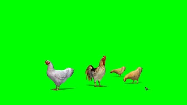 Polli con Gallo e passero