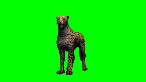 Gepard se rozhlédne