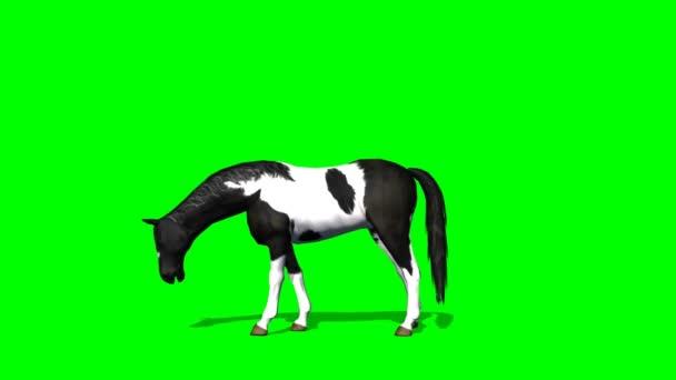 Horse grazing - green screen