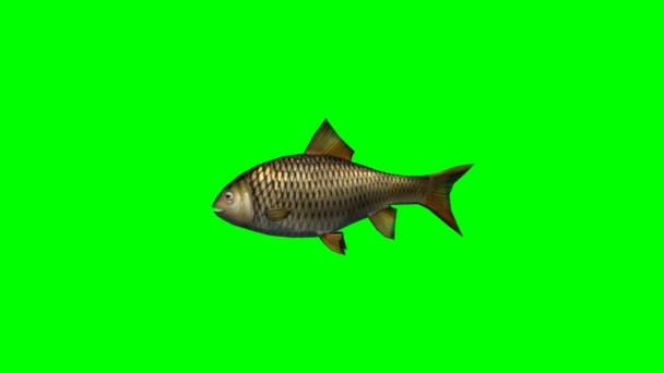 CARP fish gyors úszás