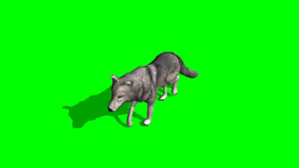 Wolf walking on green background