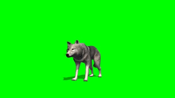 Wolf looking around on green background