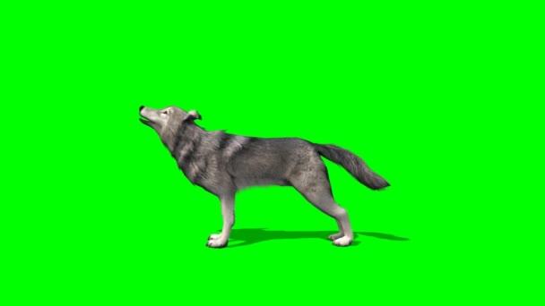 Farkas üvöltött a zöld háttér